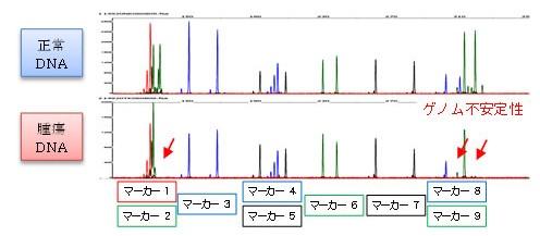 犬乳腺腫瘍マイクロサテライト解析における、ゲノム不安定性陽性例