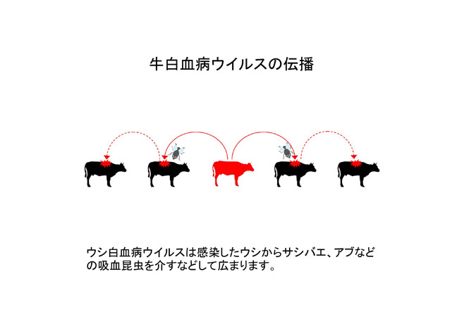 牛白血病ウイルスの伝播--牛白血病ウイルス遺伝子検査--
